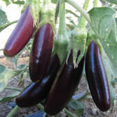 Aubergine Little Finger